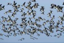 Vista de ángulo bajo de bandada de gansos - foto de stock