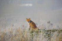 Vue de face du renard roux assis dans la Prairie — Photo de stock
