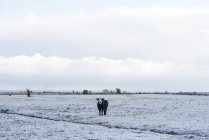 Cow standing on snow covered field — Stock Photo