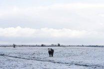 Vaca em pé sobre a neve cobriu o campo — Fotografia de Stock