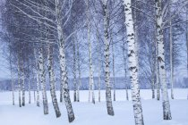 Bare trees of winter landscape, focus on foreground — Stock Photo