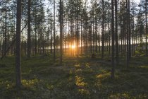 Scenic view of forest at sunset, Vasterbotten County — Stock Photo
