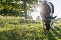 Malerischer Blick auf die Kuh auf der Weide im Sommer — Stockfoto