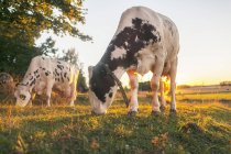 Scenic view of cows at meadow at summer - foto de stock