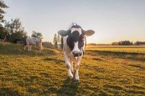 Мальовничий вид корів на галявині влітку — стокове фото