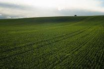Campo verde de trigo sob céu nublado — Fotografia de Stock