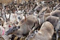 Gregge di renne all'autunno, messa a fuoco su primo piano — Foto stock