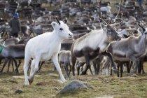 Gregge di renne con vitello bianco camminare nel selvaggio — Foto stock