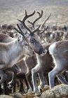 Primo piano del gregge di renne, messa a fuoco su primo piano — Foto stock