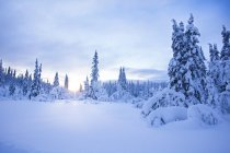 Pine forest in winter at sunrise, northern europe — Stock Photo