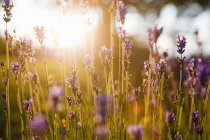 Close-up of lavender in bloom at sunset, differential focus — Stock Photo
