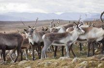 Mandria di standing renna in natura selvaggia — Foto stock