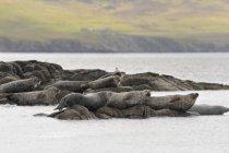 Sigilli del porto sdraiati sulle rocce, concentrandosi sul primo piano — Foto stock