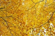Faible angle vue d'or feuillage automnal sur les arbres — Photo de stock