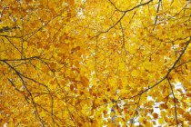 Low angle view of golden autumn foliage on trees — Stock Photo