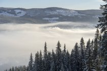 Snow covered pine trees in fog in Hedmark, Norway — Stock Photo
