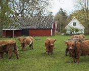 Коровы на ферме, избирательный фокус — стоковое фото
