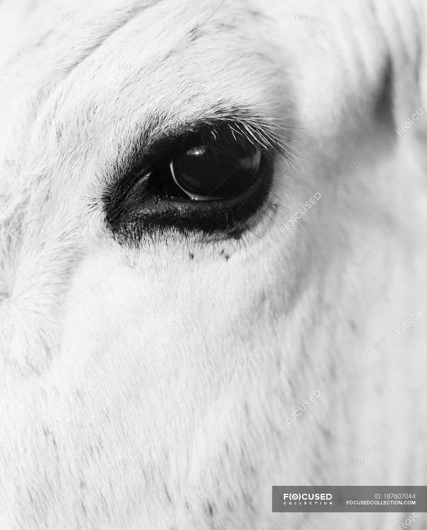 Close Up View Of White Horse Eye Black And White Cropped Cattle Stock Photo 187607044