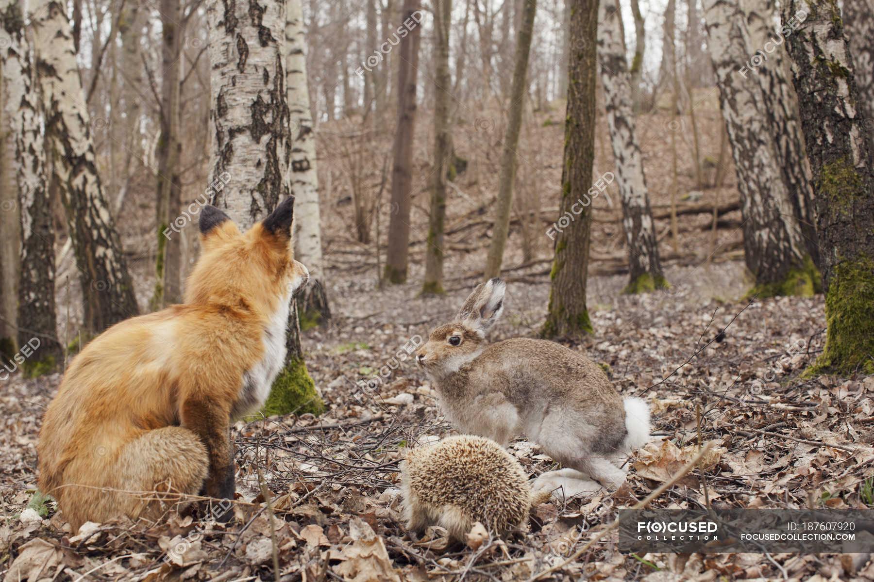 картинка лиса и кролик в лесу нарост