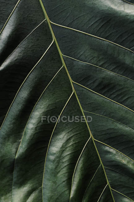 Close up shot of large green leaf — Stock Photo