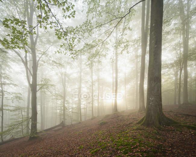 Перегляд дерева лісу покриті туман — стокове фото