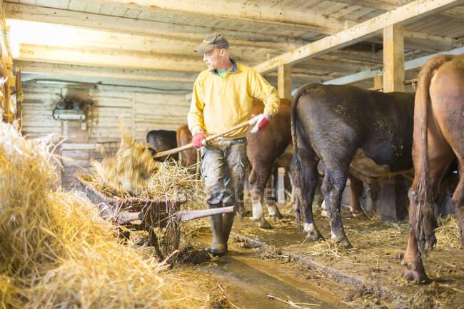 Fermiers travaillant dans la grange, vaches sur fond — Photo de stock