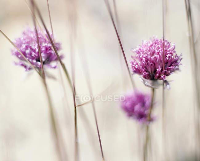 Nahaufnahme der lila blühenden Pflanzen — Stockfoto