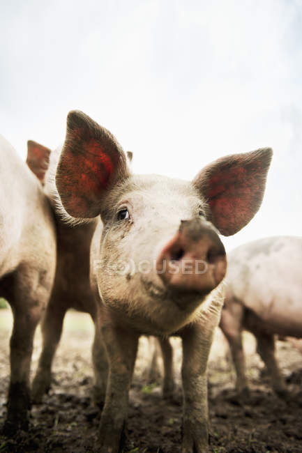 Front view of pigs looking at camera — стоковое фото