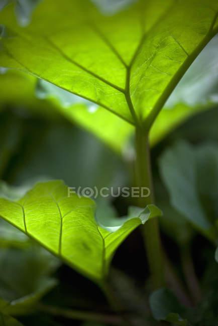 Gros plan des nervures des feuilles de rhubarbe — Photo de stock