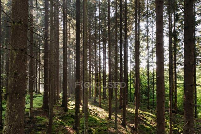 Pinheiros e grama verde na luz solar brilhante — Fotografia de Stock