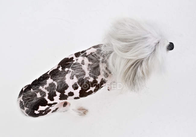 Chinois à crête, chien, vue aérienne — Photo de stock