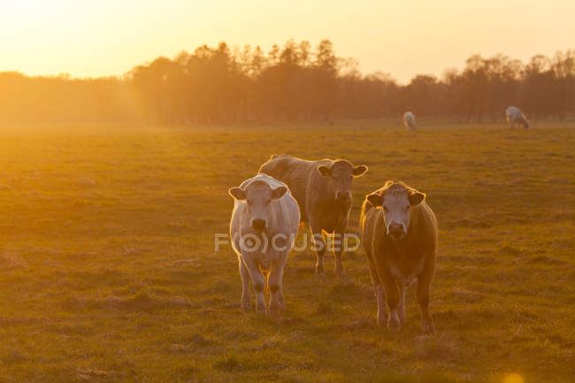 Коров, пасущихся на поле в закат с подсветкой — стоковое фото