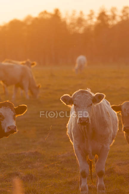 Cows grazing on field in sunset backlit — Stock Photo