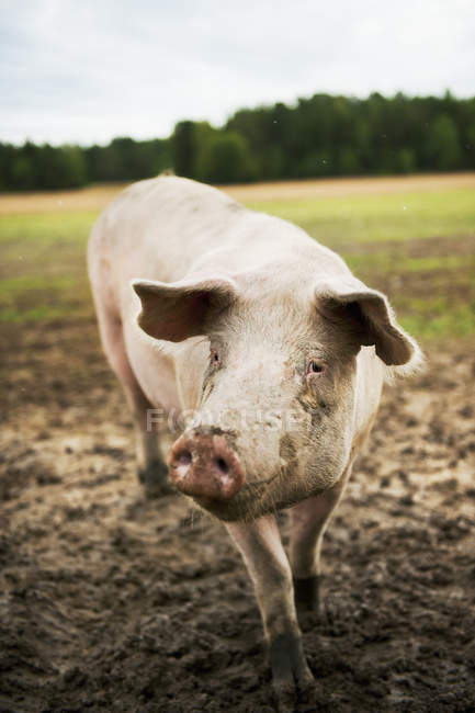Front view of dirty pig in pasture - foto de stock