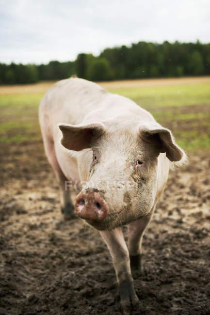 Vista frontal del cerdo sucio en pasto - foto de stock