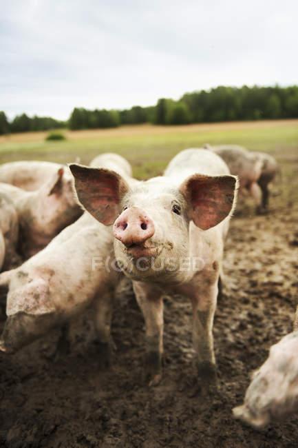 Schweine mit Dreck bedeckt auf der Weide — Stockfoto