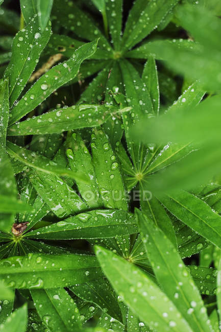 Close up shot of green leaves with dew — Stock Photo