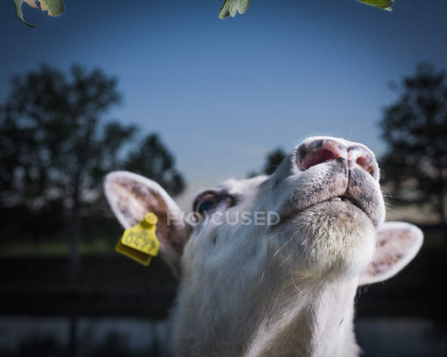 Close up shot of cow head — Stock Photo