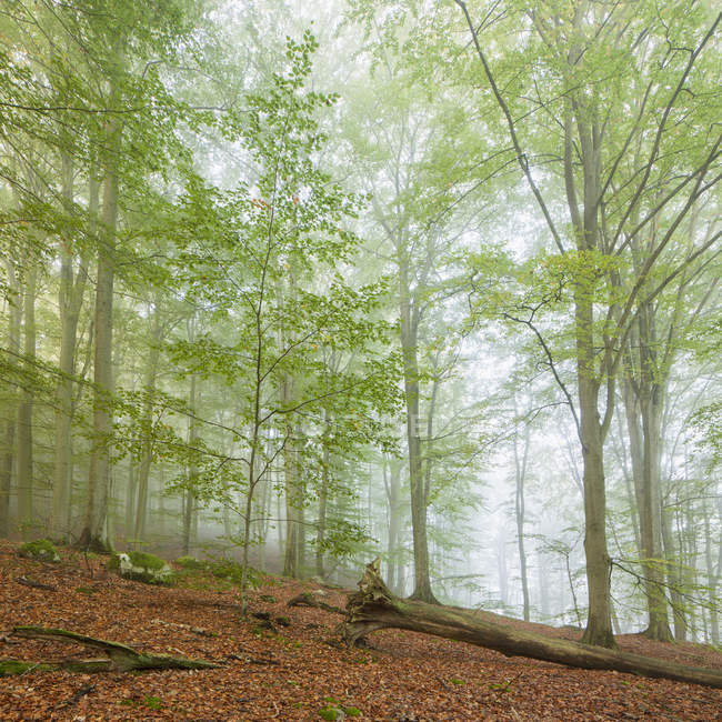 Misty forest trees at Soderasen National Park — Stock Photo