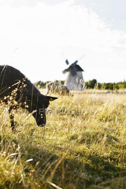 Чорна вівця випасу на полі при яскравому сонячному світлі — стокове фото
