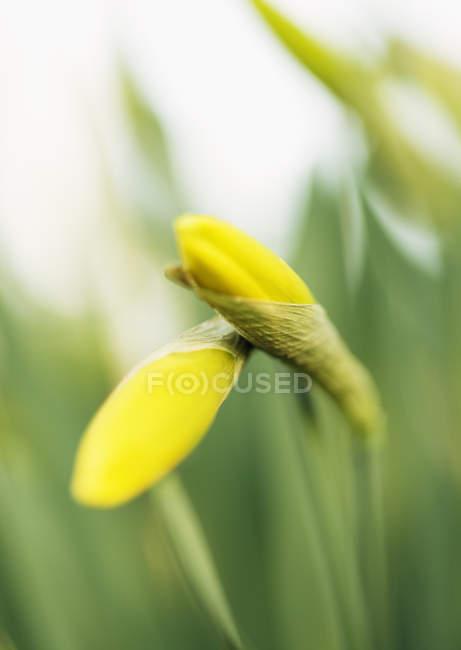 Yellow wildflower buds, close up shot — Stock Photo