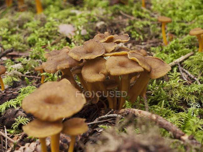 Pfifferlinge wachsen in grünem Moos — Stockfoto