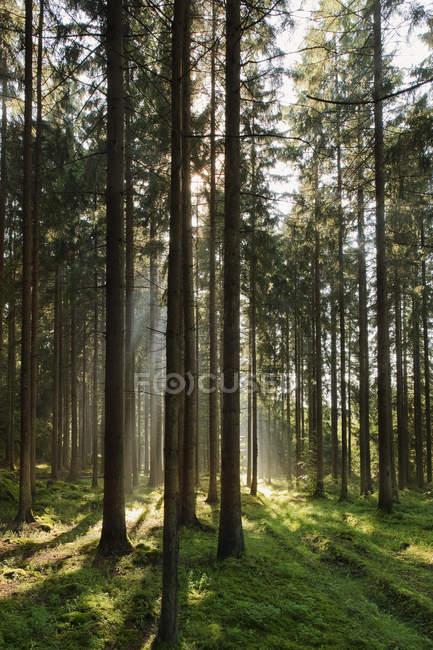 Vorderseite des Kiefernwaldes mit Sonnenlicht — Stockfoto