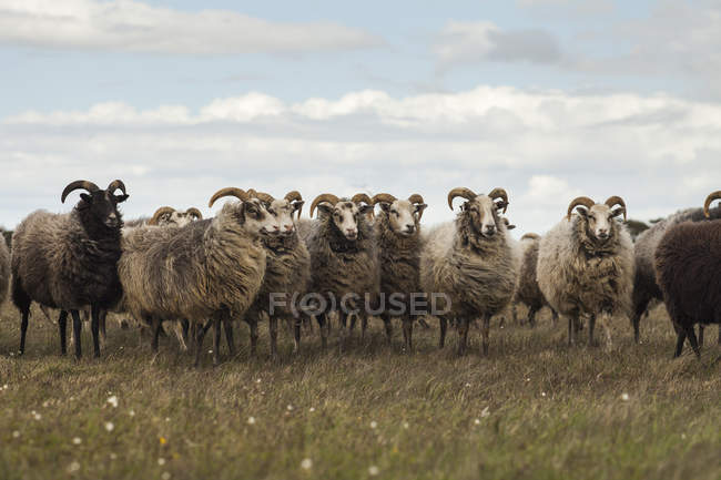 Стадо баранів, стоячи в вітер на Луці — стокове фото