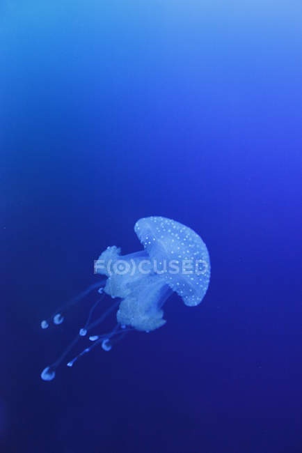 View of jellyfish swimming under blue water — Stock Photo