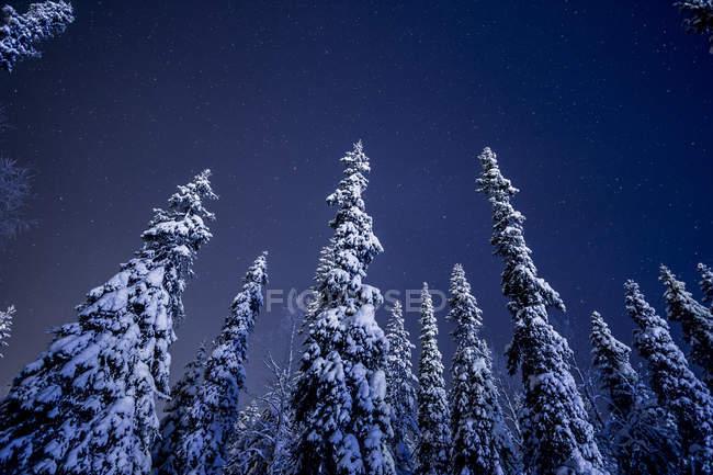 Cobertas de neve, pinheiros sob o céu estrelado da noite — Fotografia de Stock