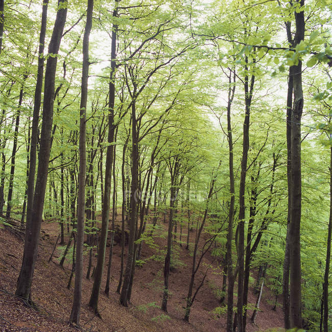 View of forest with green beech trees — Stock Photo