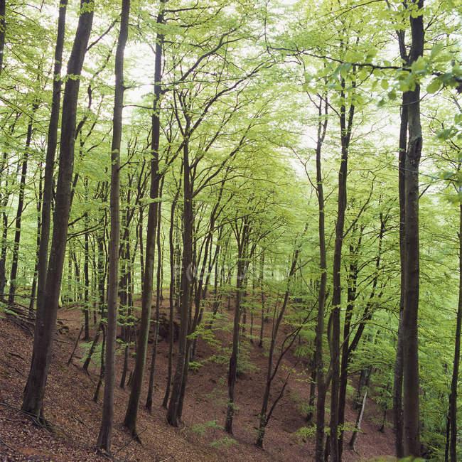 Vue de forêt avec des hêtres verts — Photo de stock