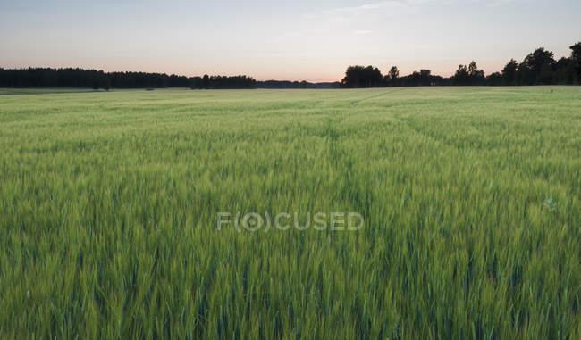 Vista panoramica del campo di orzo verde al tramonto — Foto stock