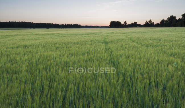 Scenic view of green barley field at sunset — Stock Photo